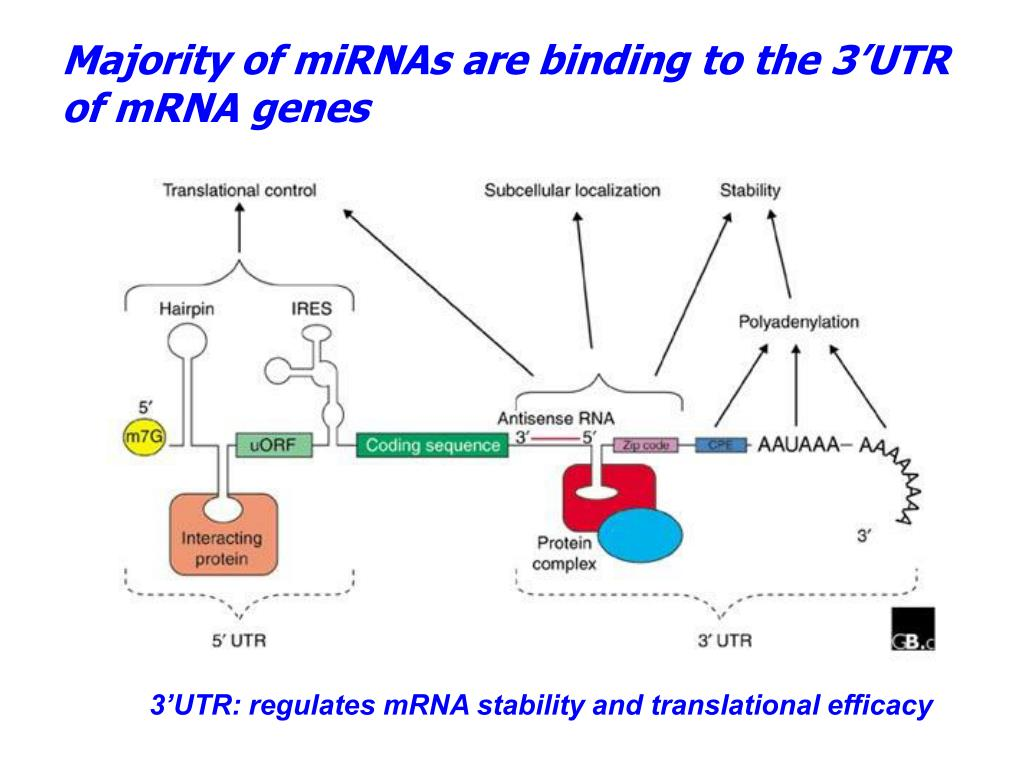 Majority of miRNAs are binding to the 3'UTR of mRNA genes