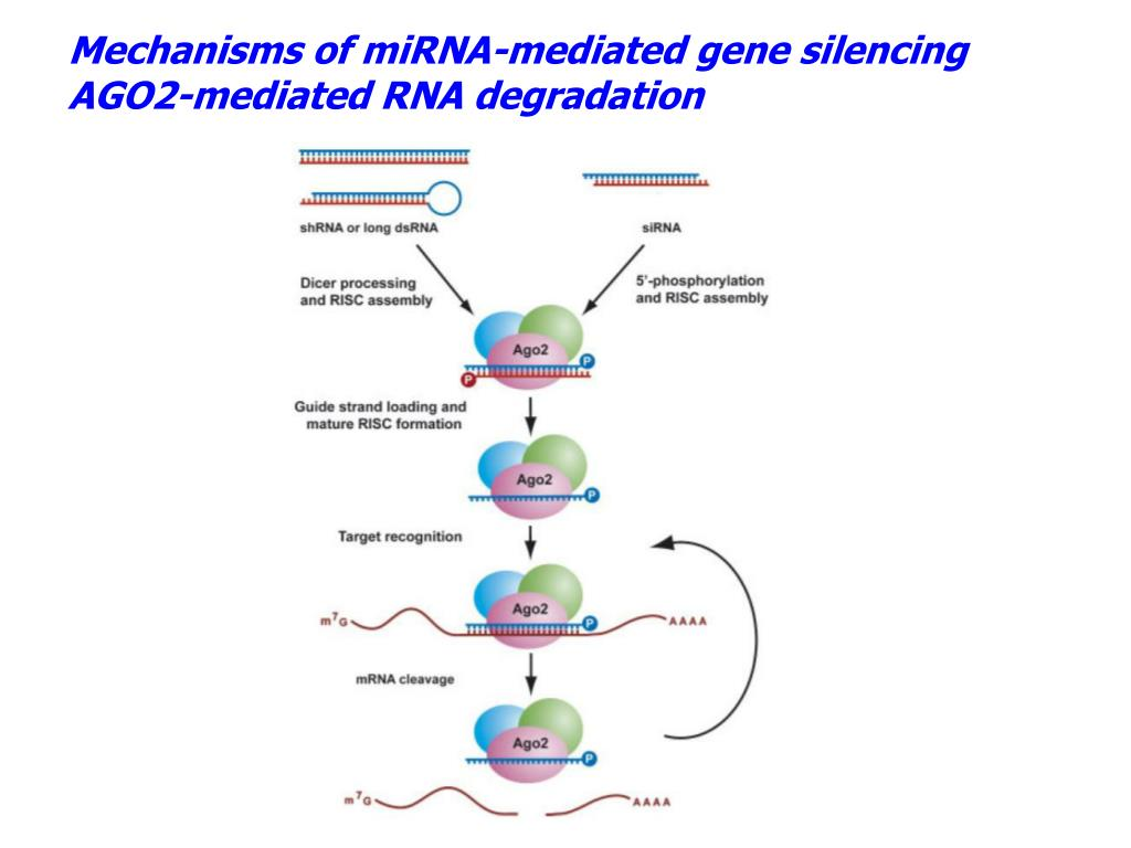 Mechanisms of miRNA-mediated gene silencing