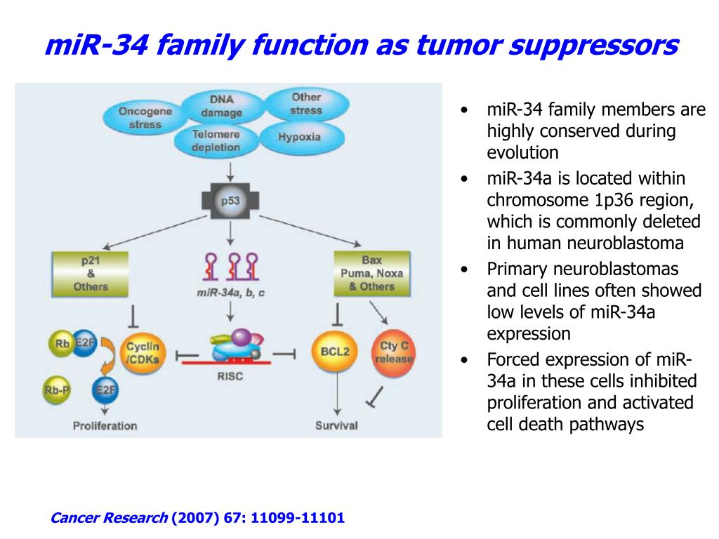 miR-34 family function as tumor suppressors