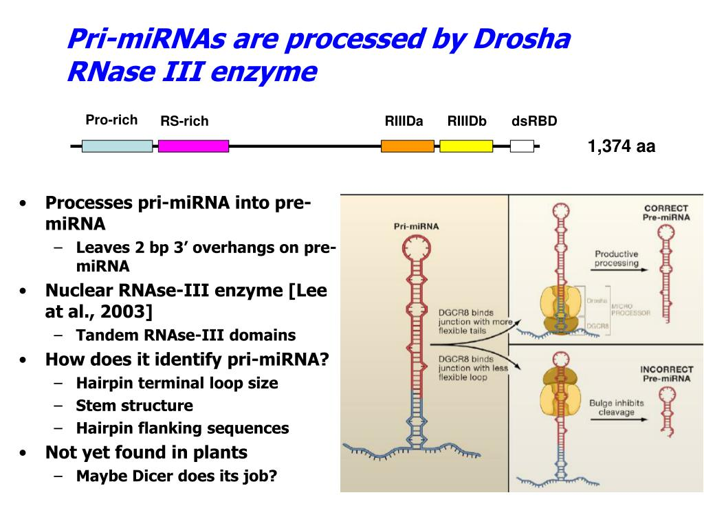 Pri-miRNAs are processed by Drosha RNase III enzyme