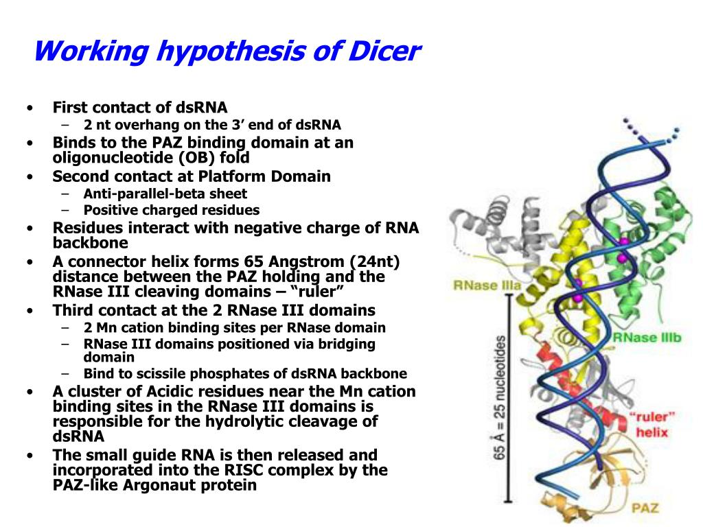 Working hypothesis of Dicer