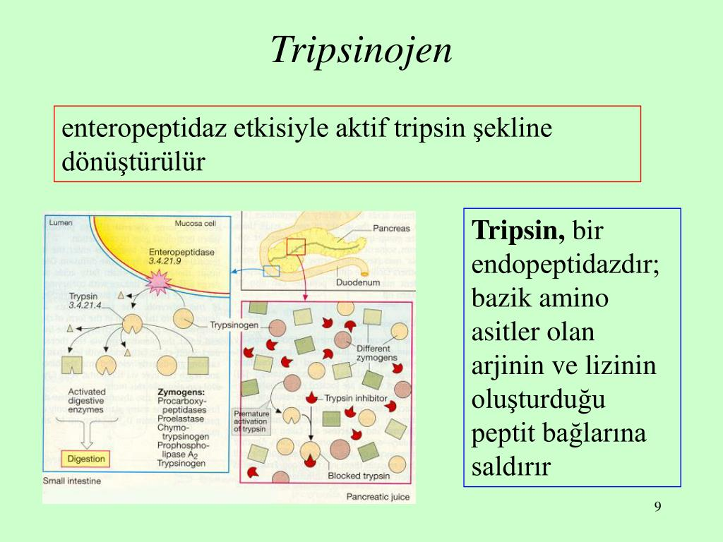 Tripsinojen