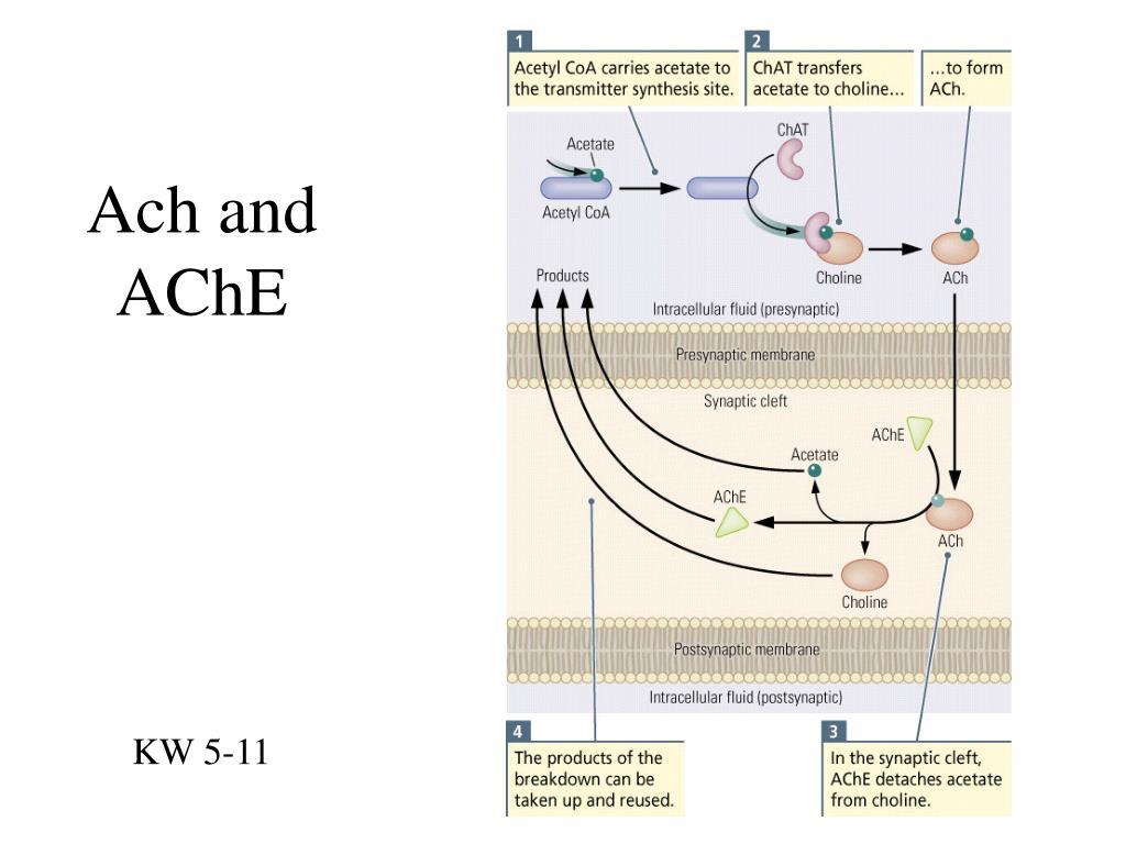 Ach and AChE