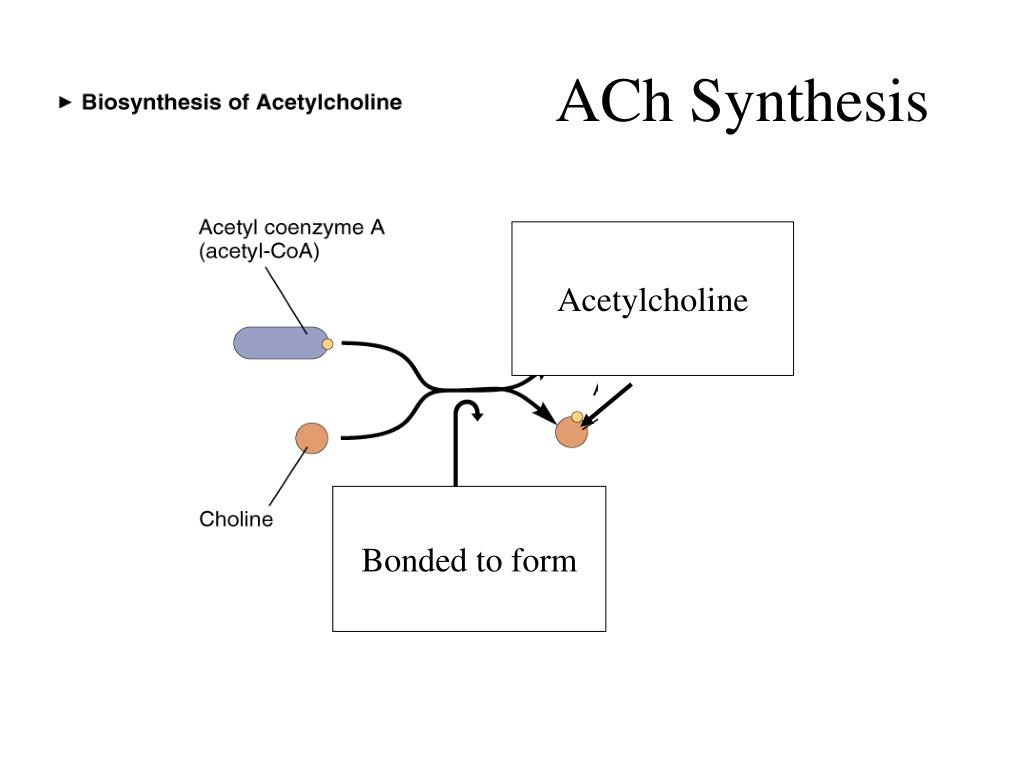 ACh Synthesis