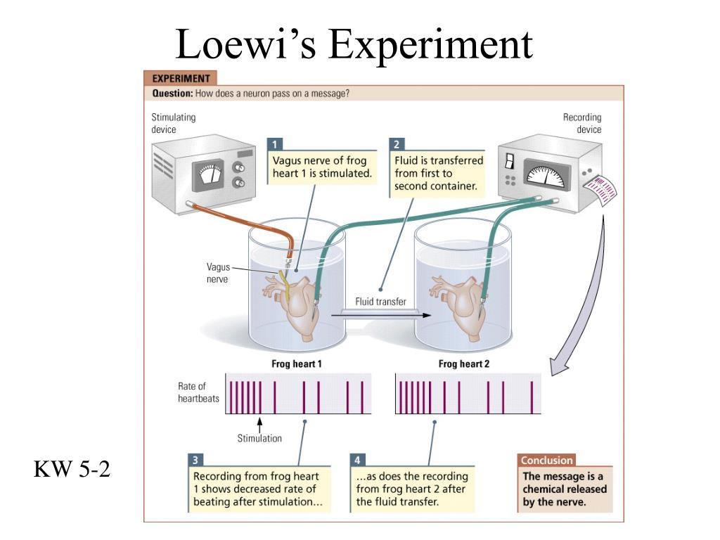Loewi's Experiment