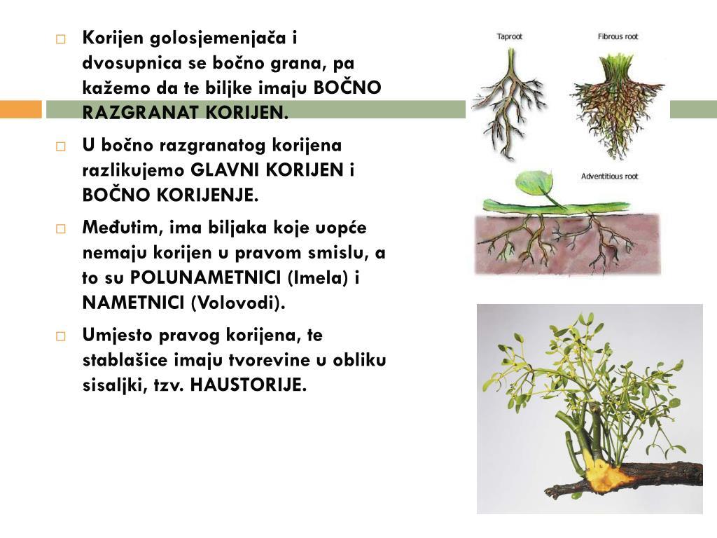 Korijen golosjemenjača i dvosupnica se bočno grana, pa kažemo da te biljke imaju BOČNO RAZGRANAT KORIJEN.