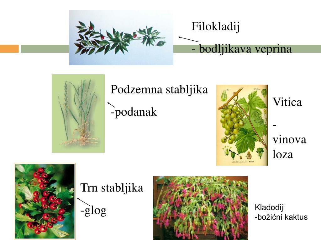 Filokladij