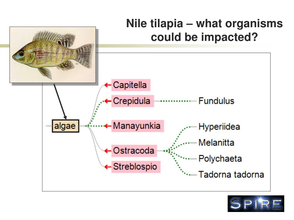 Nile tilapia – what organisms could be impacted?