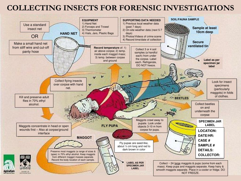 COLLECTING INSECTS FOR FORENSIC INVESTIGATIONS