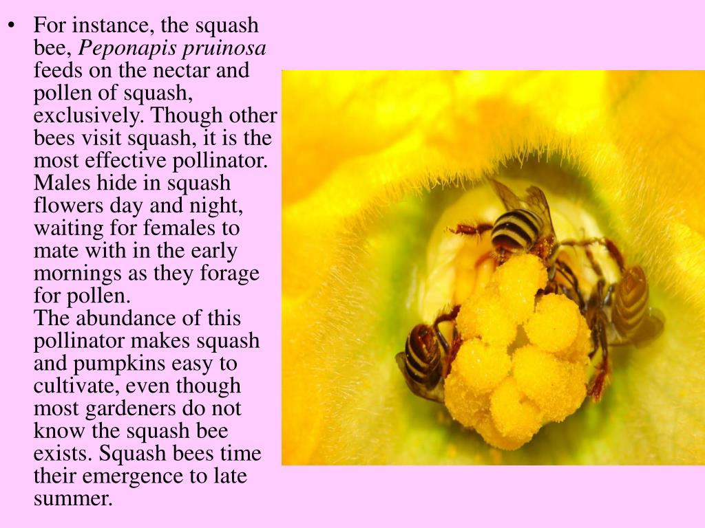 For instance, the squash bee,