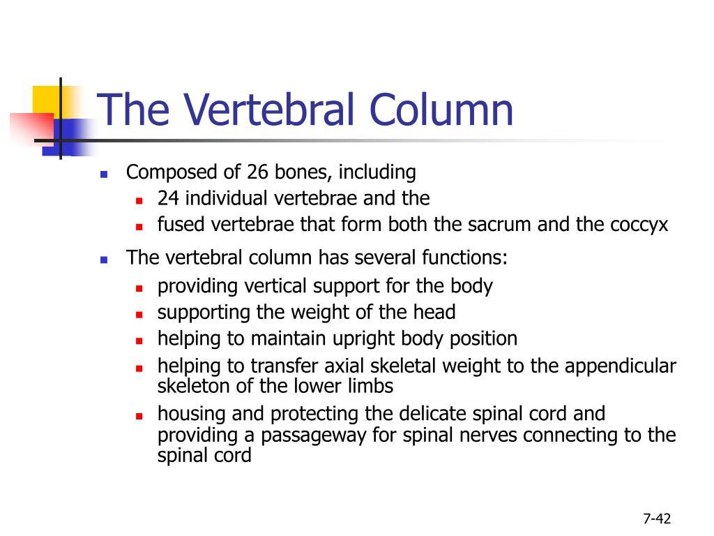 The Vertebral Column