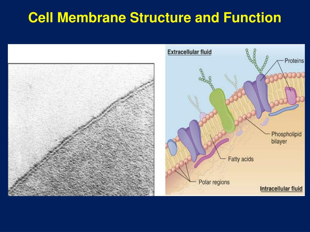 cell membrane and function Despite differences in structure and function, all living cells in multicellular  organisms have a surrounding cell membrane as the outer layer of your skin.