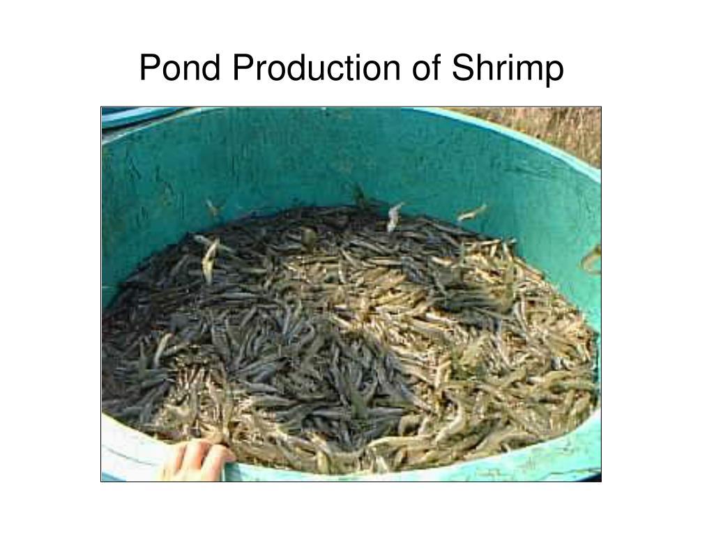 Pond Production of Shrimp