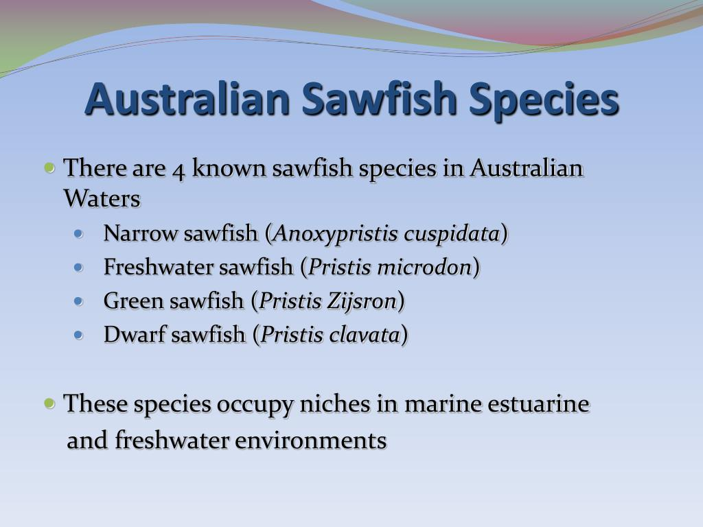 Australian Sawfish Species