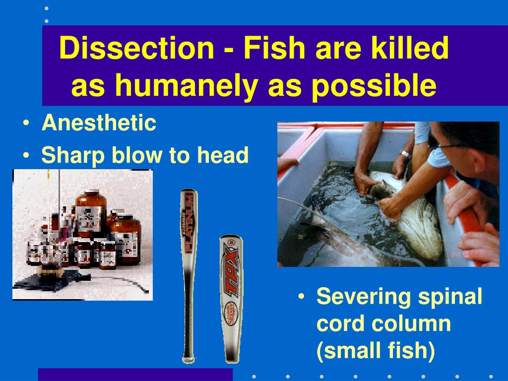 Dissection - Fish are killed as humanely as possible