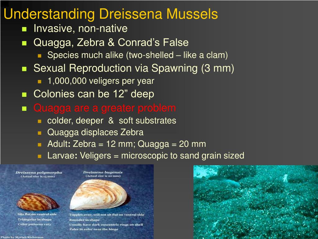 Understanding Dreissena Mussels