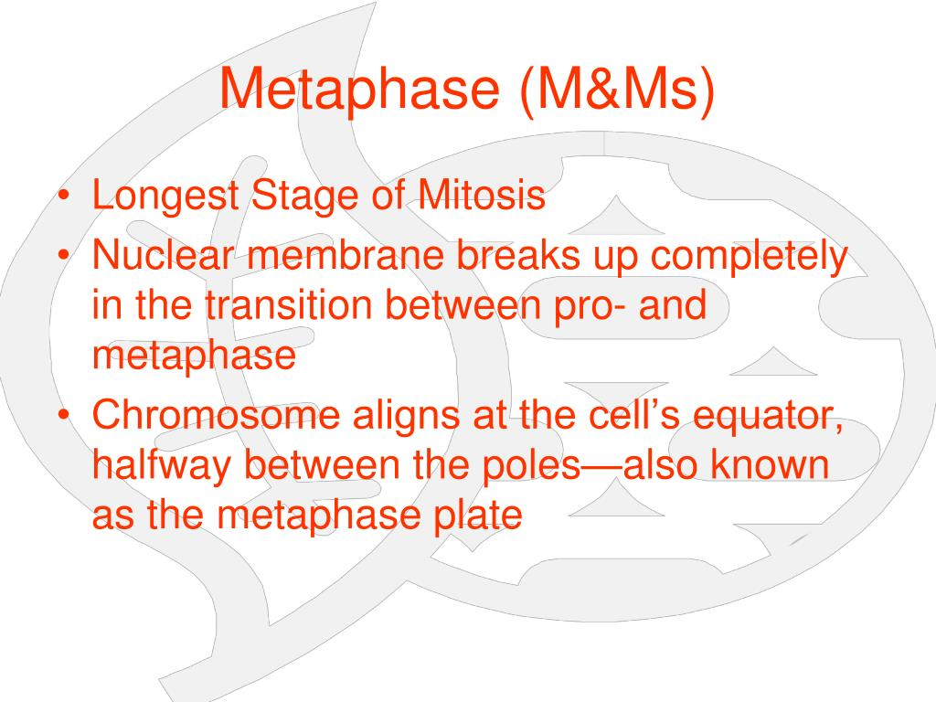 Metaphase (M&Ms)