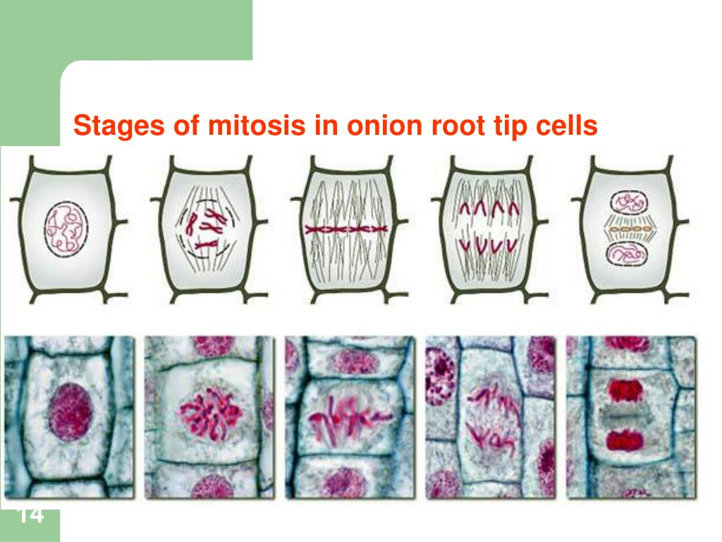 root tip squash experiment Experiment #8 cell division: mitosis & meiosis introduction cells, the basic unit of life, undergo reproductive acts to maintain the flow of genetic information.