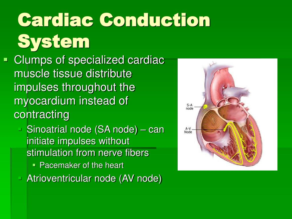 Clumps of specialized cardiac muscle tissue distribute impulses throughout the myocardium instead of contracting
