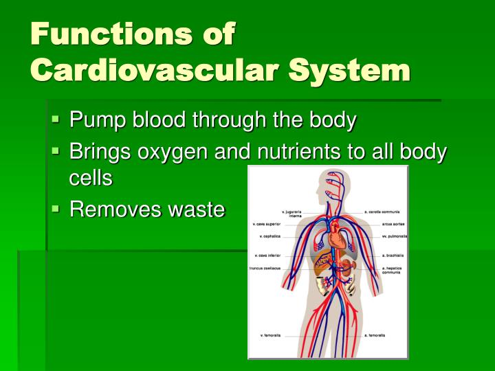 Functions of cardiovascular system