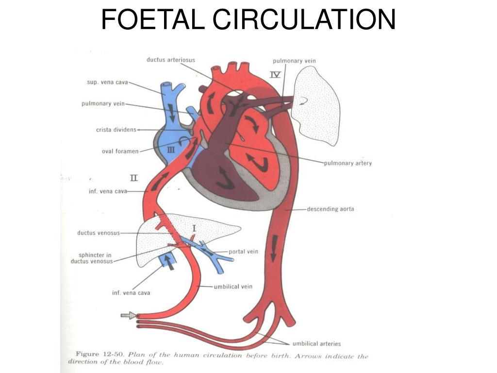 PPT - FOETAL CIRCULATION PowerPoint Presentation - ID:441951