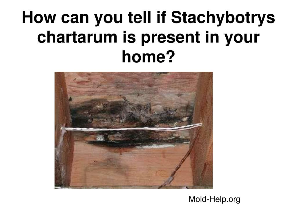 How can you tell if Stachybotrys chartarum is present in your home?