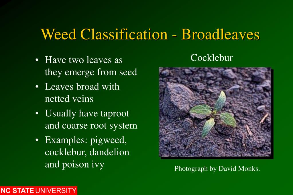 Weed Classification - Broadleaves