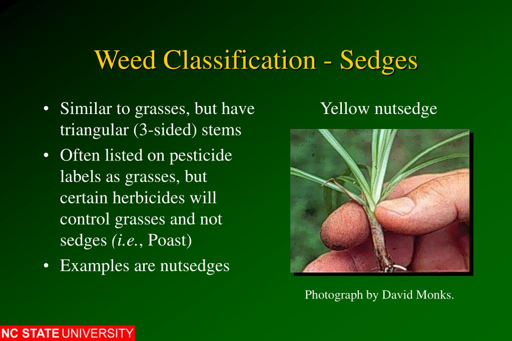 Weed Classification - Sedges