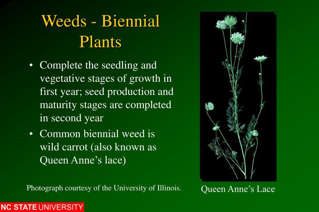 Weeds - Biennial Plants