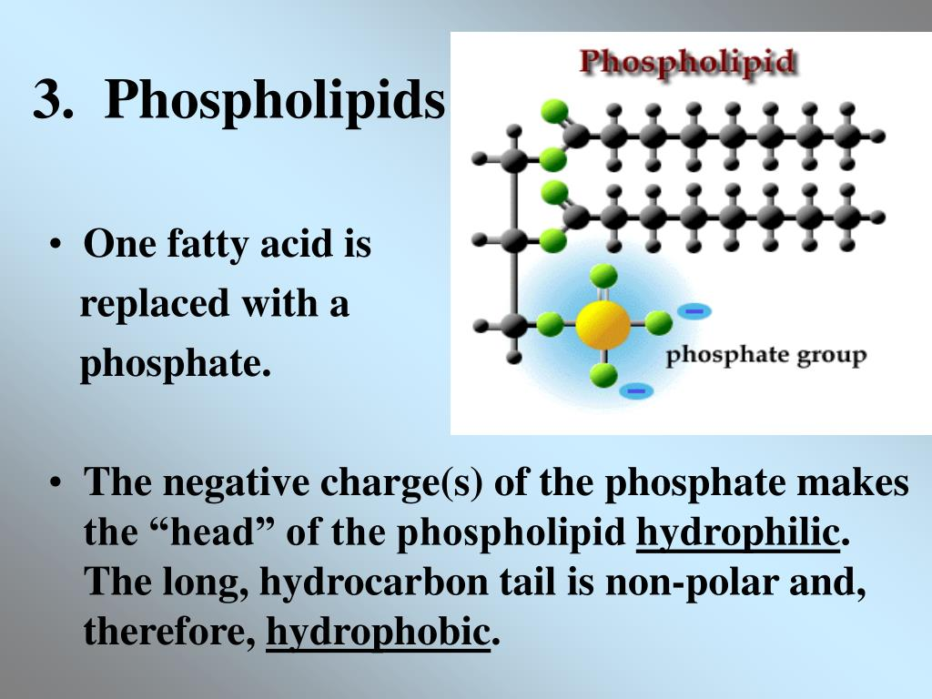 3.  Phospholipids