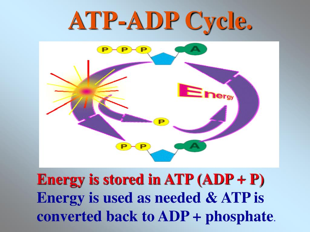 ATP-ADP Cycle.