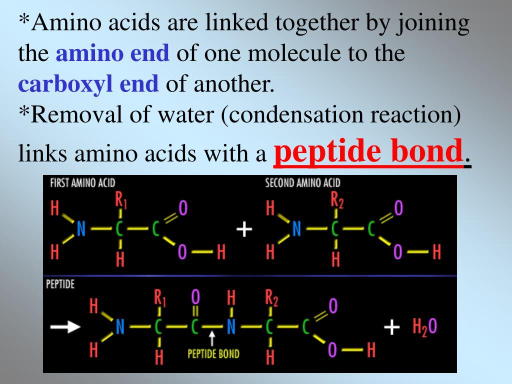 *Amino acids are linked together by joining the