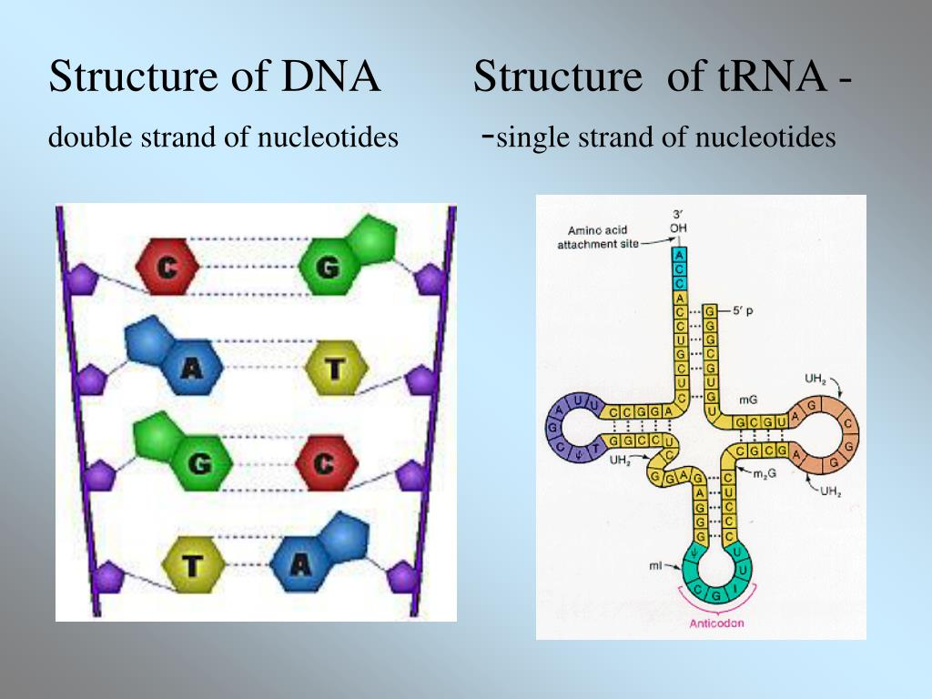 Structure of DNA        Structure  of tRNA -