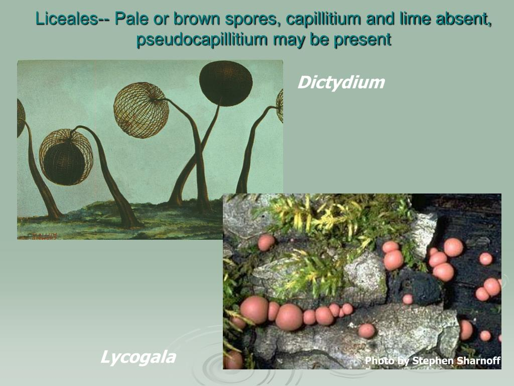 Liceales-- Pale or brown spores, capillitium and lime absent, pseudocapillitium may be present