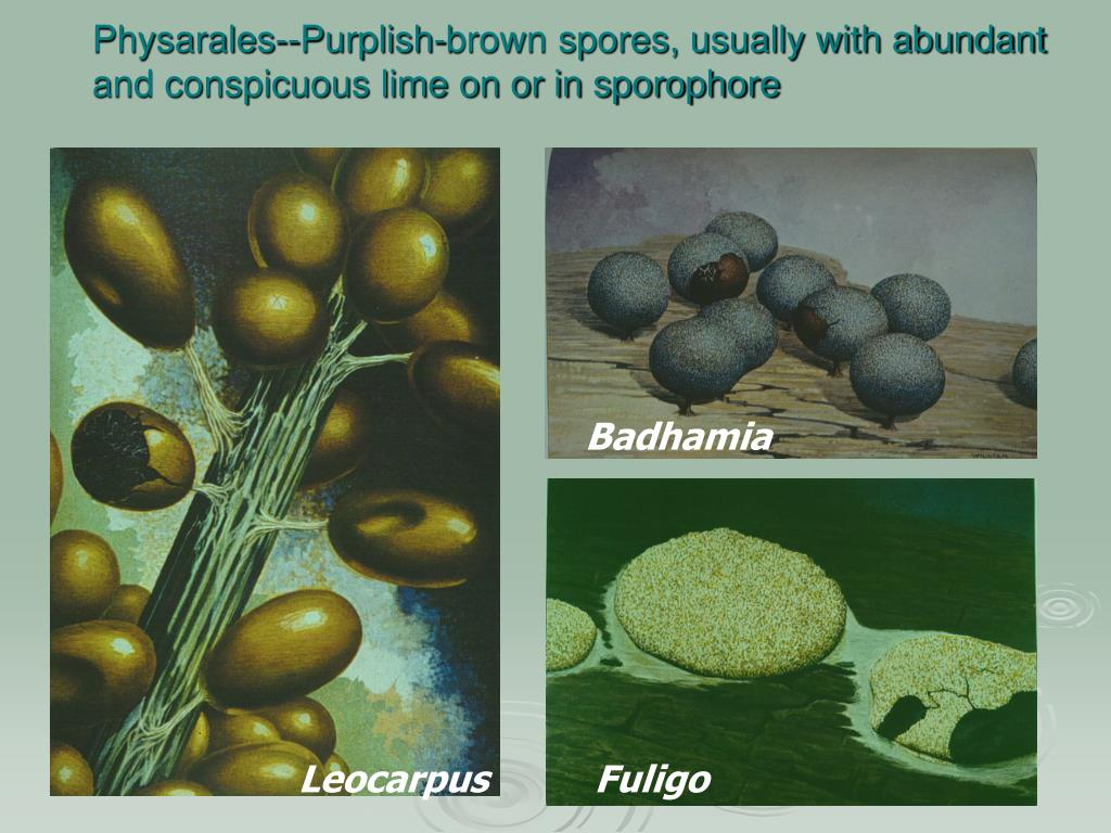 Physarales--Purplish-brown spores, usually with abundant and conspicuous lime on or in sporophore