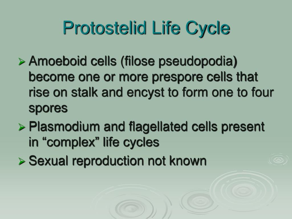 Protostelid Life Cycle