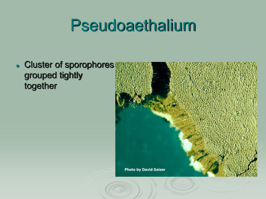 Pseudoaethalium