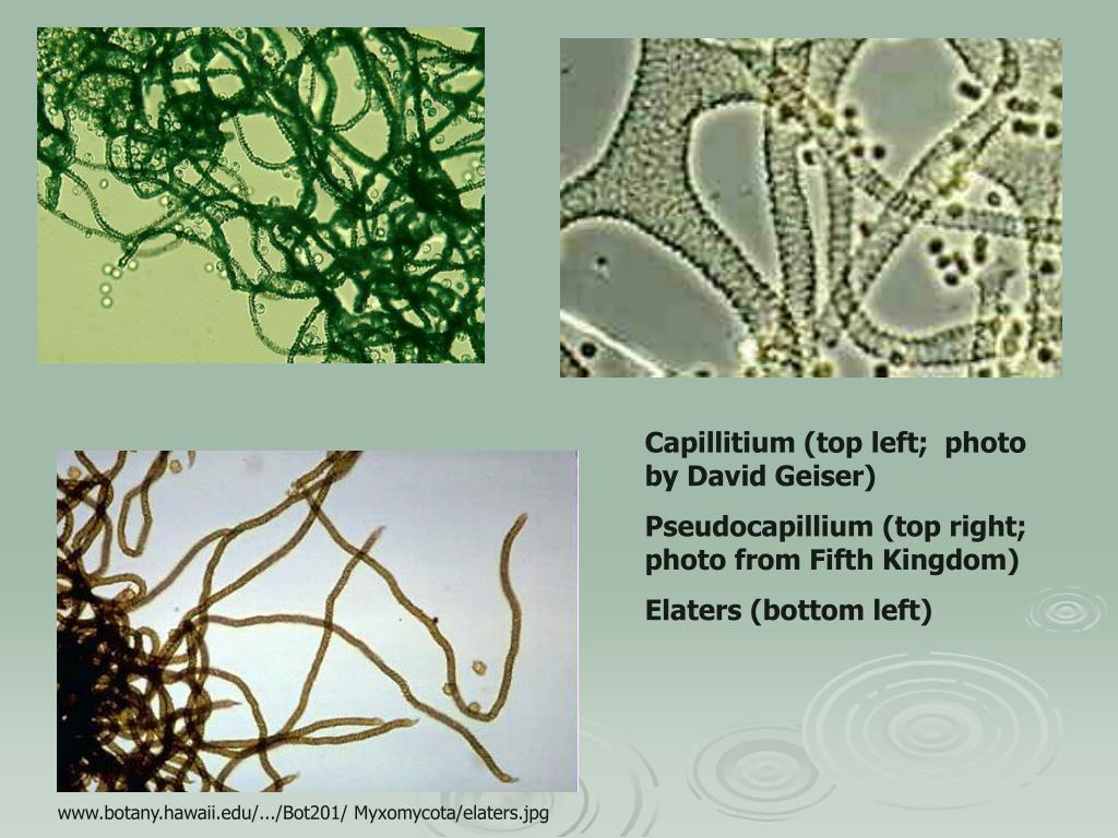 Capillitium (top left;  photo by David Geiser)