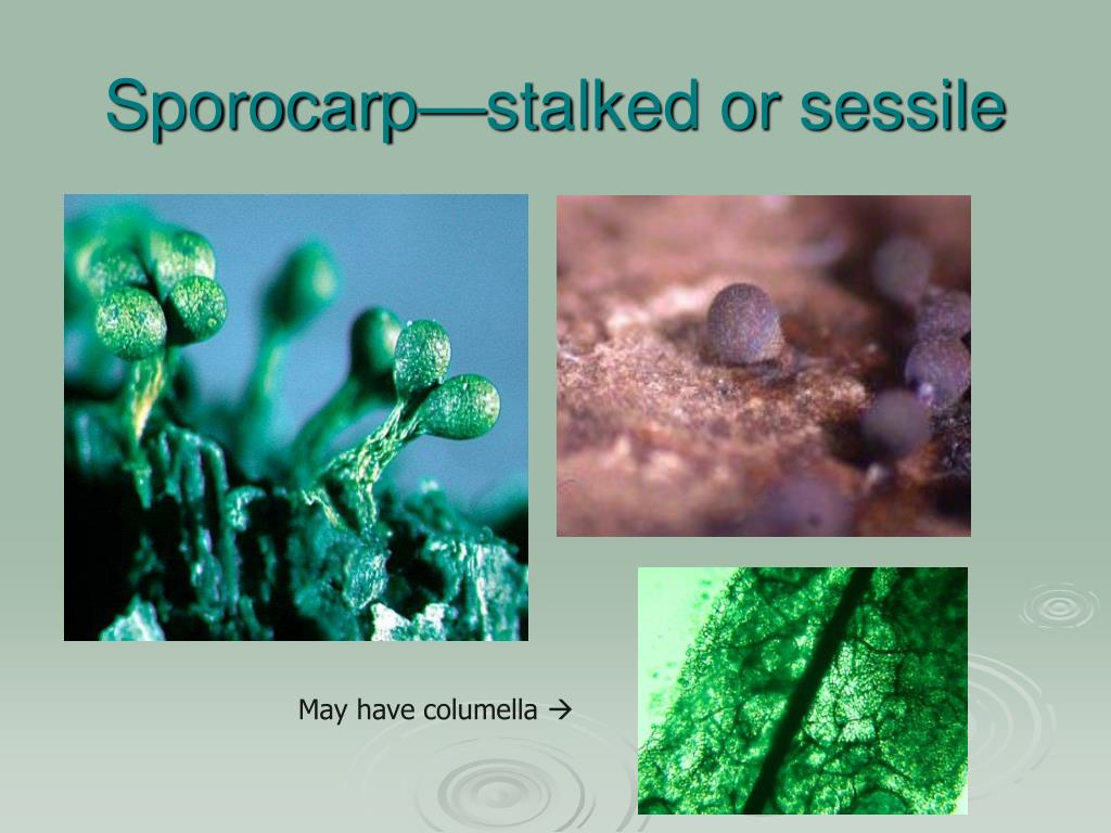 Sporocarp—stalked or sessile