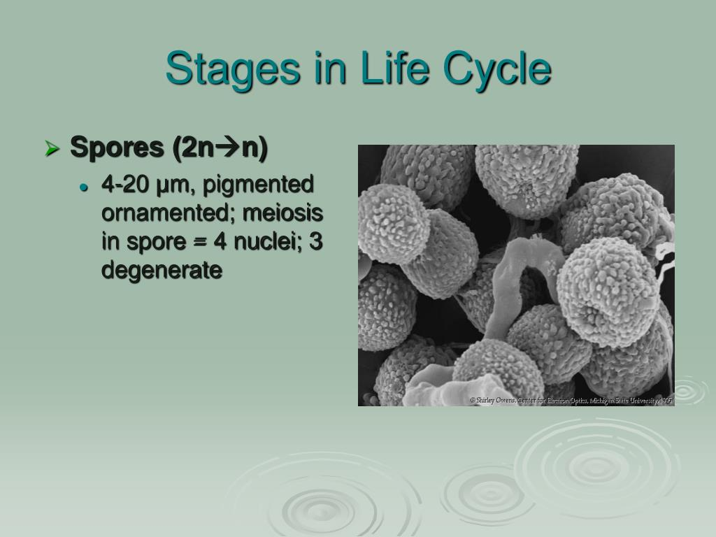Stages in Life Cycle