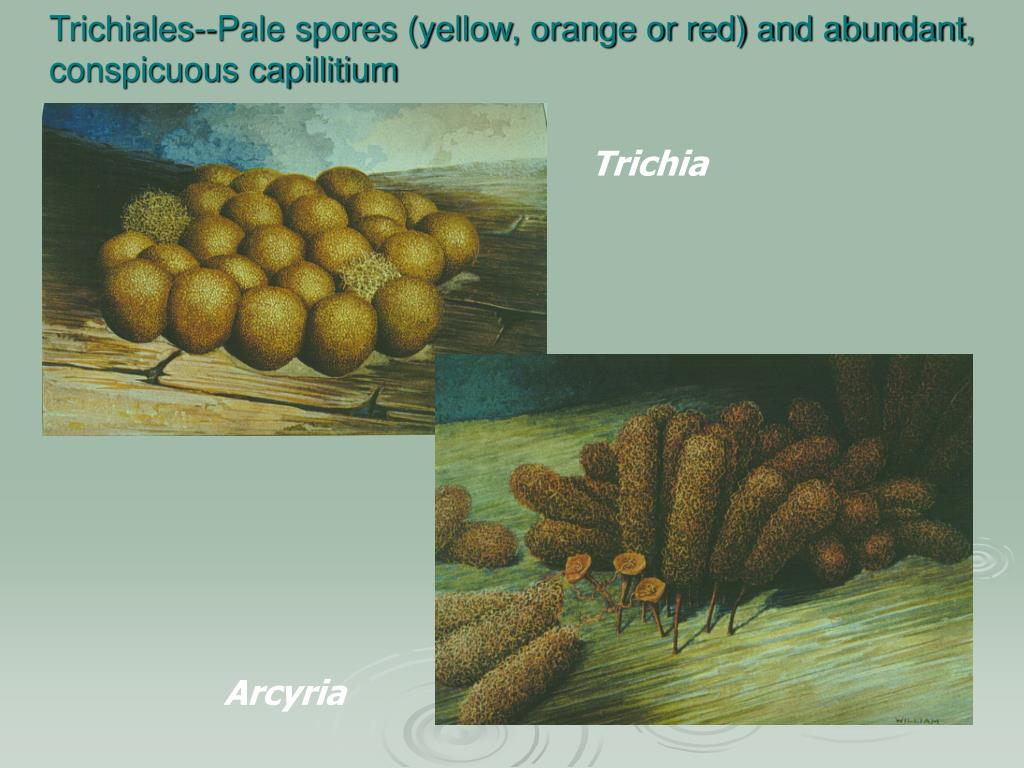 Trichiales--Pale spores (yellow, orange or red) and abundant, conspicuous capillitium
