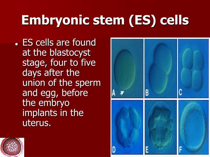 Embryonic stem (ES) cells