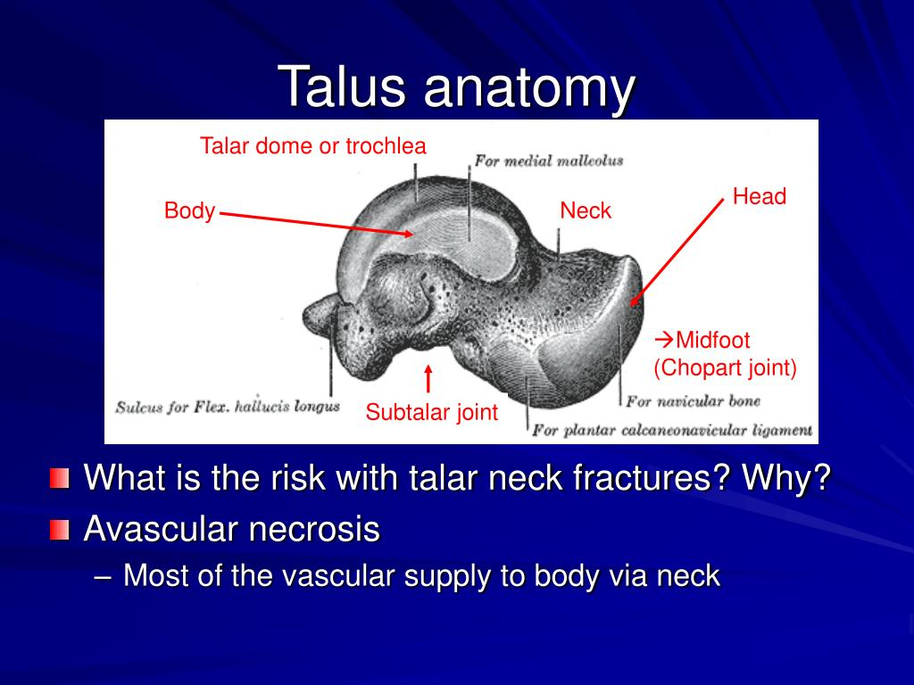 Talus anatomy
