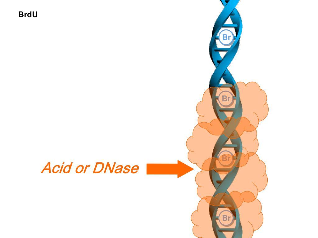 Acid or DNase