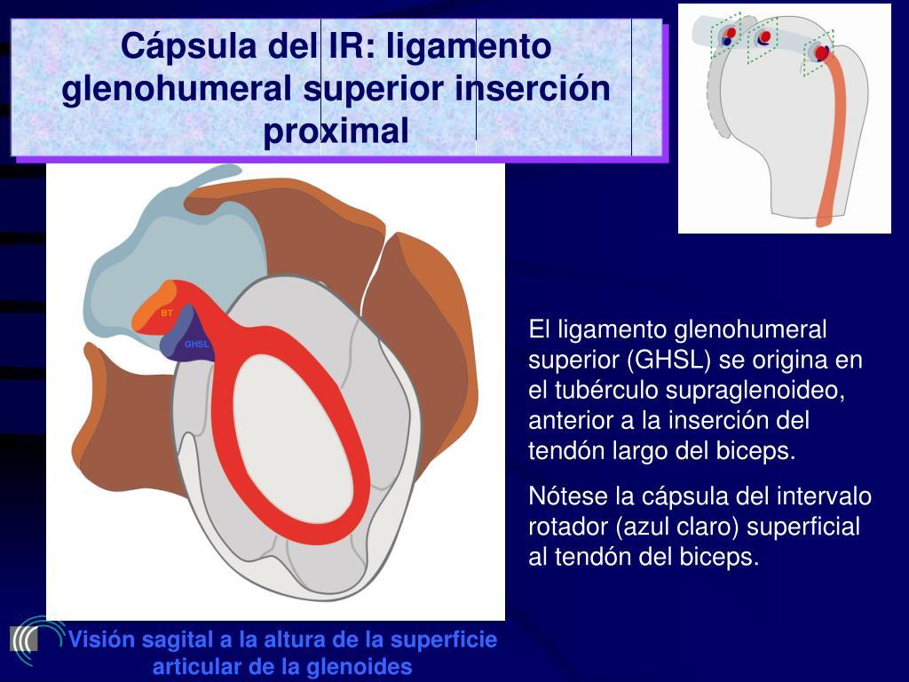 Cápsula del IR: ligamento glenohumeral superior inserción proximal