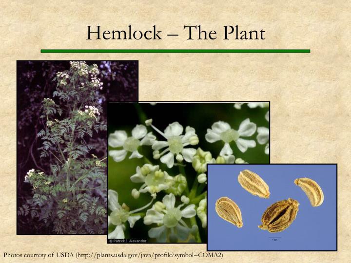 Hemlock – The Plant