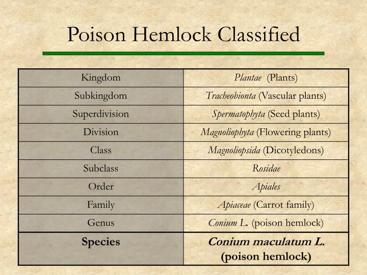 Poison Hemlock Classified