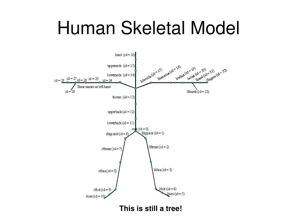 Human Skeletal Model
