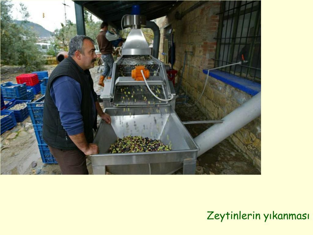Zeytinlerin yıkanması