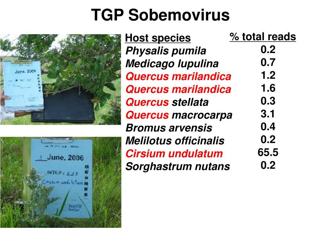 TGP Sobemovirus